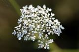 Zdravilna rastlina, ki krepi srce, jetra, zdravi revmo